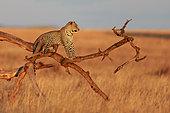 Leopard (Panthera pardus) on a dead tree, Serengeti, Tanzania