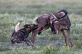 Wild dog (lycaon pictus) huntiong a wildebeest (Connochaetes taurinus), Serengeti, Tanzania