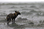 Wild dog (lycaon pictus) in the rain in the savannah, Serengeti, Tanzania. Asferico Italy 2017 - Highly Commended
