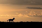 Wild dog (lycaon pictus) in the savanna at dusk, Serengeti, Tanzania