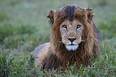 Lion (Panthera leo) male in rain, Ngorongoro Conservation Area, Serengeti, Tanzania. Asferico 2013 - Italy - Highly Commended Glanzlichter 2015 - Germany - Highly Commended