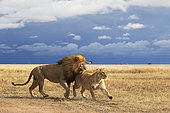 Lion (Panthera leo) couple, Ngorongoro Conservation Area, Serengeti, Tanzania