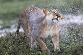 Lion (Panthera leo) lioness snorting, Ngorongoro Conservation Area, Serengeti, Tanzania
