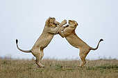 Lion (Panthera leo) fighting, Ngorongoro Conservation Area, Serengeti, Tanzania