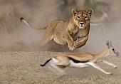 Lion (Panthera leo), lioness chasing a Thomson's Gazelle (Gazella thomsonii) , Serengeti, Ngorongoro Conservation Area