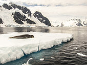 Leopard seal (Hydrurga leptonyx) resting on an ice floe in Antarctica