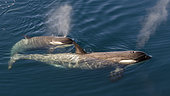 Killer Whale (Orcinus orca) female and her young seen in transparency, Antarctica
