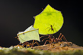 Mushroom ants (Atta sp) carrying pieces of cut leaves to their nest, Peru