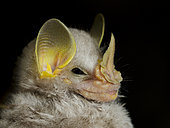 Portrait of MacConnell's bat (Mesophylla macconnelli) in the Peruvian Amazon rainforest