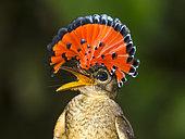 Royal flycatcher (Onychorhynchus coronatus) male adult in the Peruvian Amazon rainforest