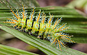Moth caterpillar (Automeris sp) of the Saturnidae family, Peru