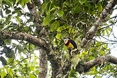 Scarlet-banded barbet (Capito wallacei), discovered in 1996 and endemic to Peru