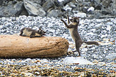 Young Arctic Foxes (Alopex lagopus) playing on a beach in Spitsbergen.
