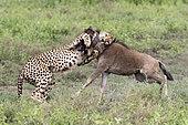Cheetah (Acinonyx jubatus) killing a wildebeest (Connochaetes taurinus), Serengeti, Tanzania, Sidney Australia 2018 - Gold Medal