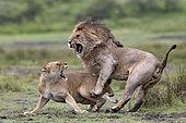 Lion (Panhthera leo) couple, Serengeti, Tanzania.Sipa Siena Italy 2017 - Remarkable Work Paramount Circuit India 2018 - Gold Medal Pena Rosarina - Argentina 2018 - Gold medal Vintage Circuit India 2018 - Gold Medal Uzbekistan 2018 - Gold Medal