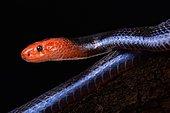 Serpent corail bleu de Malaisie (Calliophis bivirgata flaviceps)