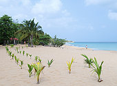 Young coconut plantation on a beach in Basse Terre, Guadeloupe, French West Indies