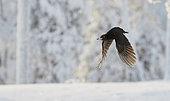 Black Woodpecker male (Dryocopus martius) in flight, Kuusamo, Finland