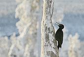 Black Woodpecker male calling (Dryocopus martius), Kuusamo, Finland