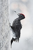 Black Woodpecker male (Dryocopus martius), Kuusamo, Finland