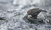 Dipper (Cinclis cinclus) in water, Kuusamo, Finland