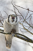 Hawk Owl (Surnia ulula) vomits the pellet out before eating next vole, Helsinki, Finland