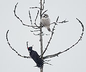 Hawk Owl (Surnia ulula) and Black Woodpecker (Dryocopus martius), Helsinki, Finland
