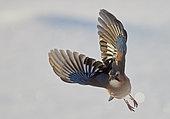 Jay (Garrulus glandarius) in flight, Kuusamo, Finland