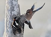 Jay (Garrulus glandarius) and Great Spotted woodpecker (Dendrocopus major) Kuusamo Finland January 2018.