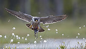 Peregrine (Falco peregrinus) and Ruff (Philomachus pugnax), Vaala, Finland