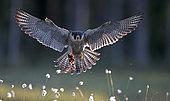 Peregrine (Falco peregrinus), Vaala, Finland