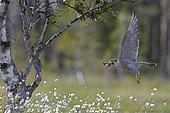 Peregrine taking bones away from the nest (Falco peregrinus), Vaala, Finland