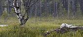 Peregrine chicks (Falco peregrinus), Vaala, Finland