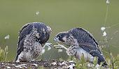 Peregrine juv.(Falco peregrinus), Vaala, Finland