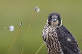 Peregrine juvenile (Falco peregrinus), Vaala, Finland