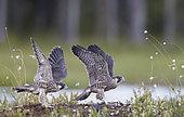 Peregrine juv. flight training (Falco peregrinus), Vaala, Finland
