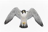 Peregrine (Falco peregrinus) in flight, Canada