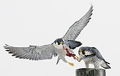 Peregrine (Falco peregrinus) Canada January 2017 Some wires removed