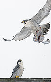 Peregrine (Falco peregrinus) in flight with the remains of its prey, Canada