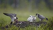Peregrine with chiks (Falco peregrinus), Vaala, Finland