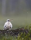 Peregrine chick (Falco peregrinus), Vaala, Finland