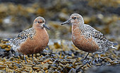 Red Knot (Calidris canutus) on shore, Vardö, Norway