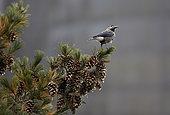 Spotted Nutcracker (Nucifraga caryocatactes) on pine, Joensuu, Finland