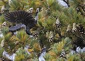 Spotted Nutcracker (Nucifraga caryocatactes) eating on pine, Joensuu, Finland