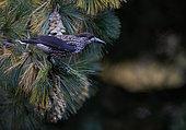 Spotted Nutcracker (Nucifraga caryocatactes), Joensuu, Finland
