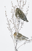 Twite (Carduelis flavirostris) eating seeds, Vantaa, Finland