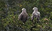 White-tailed Eagle (Haliaeetus albicilla), Flatanger, Norway