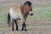Przewalski's Horse (Equus ferus przewalskii), Emsland, Lower Saxony, Germany, Europe