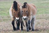 Przewalski's Horses (Equus ferus przewalskii), Emsland, Lower Saxony, Germany, Europe