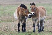 Przewalski's horses (Equus ferus przewalskii) get a whiff of each other, Emsland, Lower Saxony, Germany, Europe